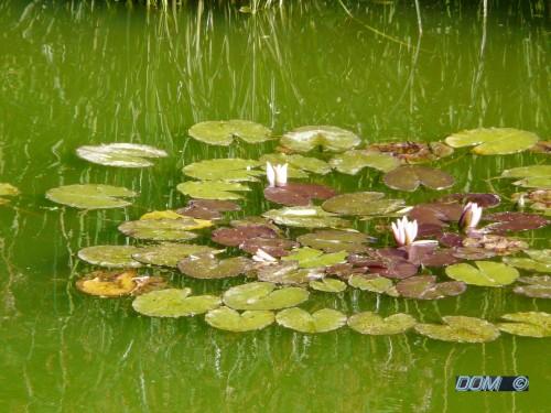 my lotus.jpg