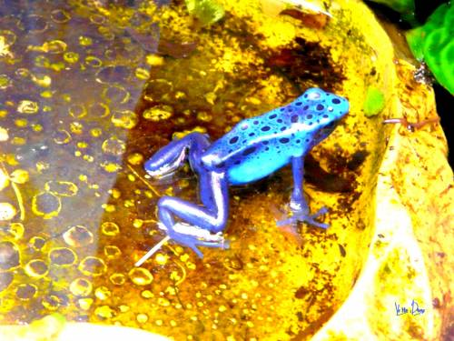 grenouille bleue.jpg