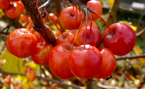 pommes... d'hiver.jpg