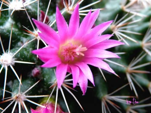 cactus fleur 2.jpg