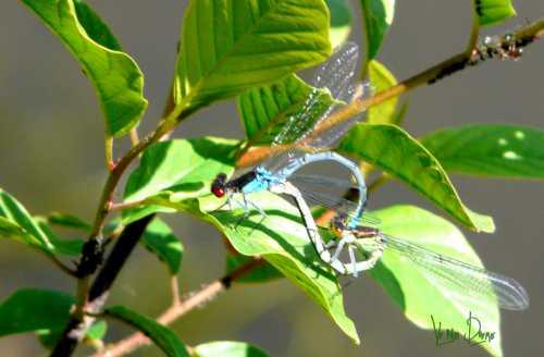 libellules amour.jpg