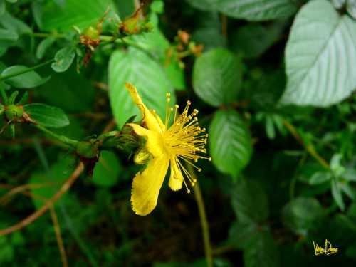 Chélidoine Chélidonium majus papaveracee.jpg
